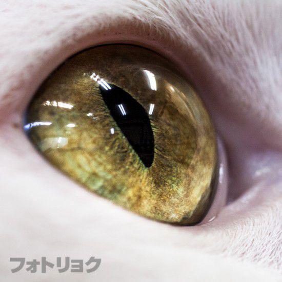 白猫の黄色い目