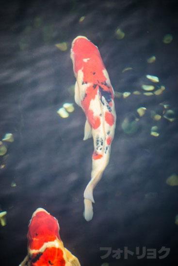 影向堂付近の鯉