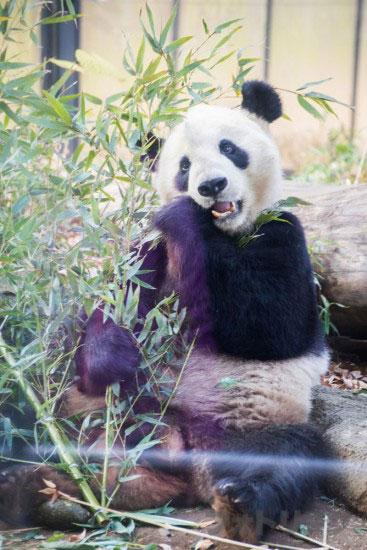 上野動物園パンダ2