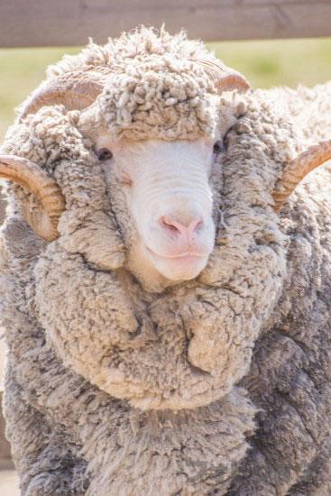 癒やし画像羊2