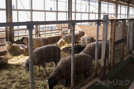 マザーファームツアー羊
