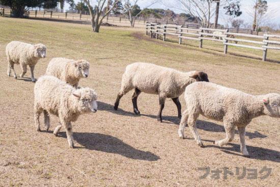 マザーファームツアーついてくる羊