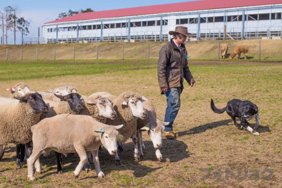 マザーファームツアー牧羊犬