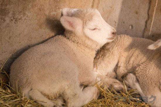 マザー牧場の羊の赤ちゃんが寝てる