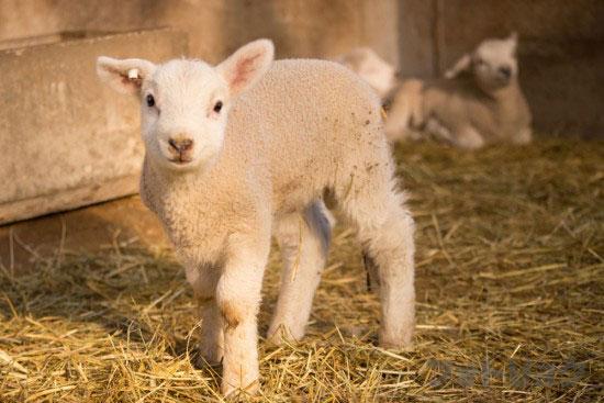 マザー牧場羊の赤ちゃん