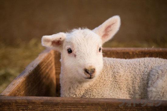 癒やし画像子羊2