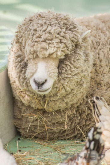 江戸川区自然動物園の羊