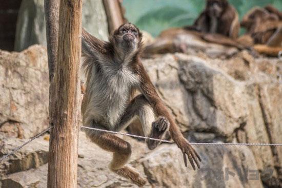 江戸川区自然動物園のクモザル2