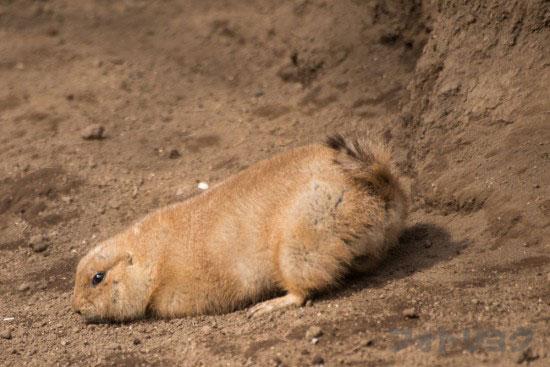 江戸川区自然動物園のプレーリードッグ2