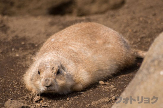 江戸川区自然動物園のプレーリードッグ3