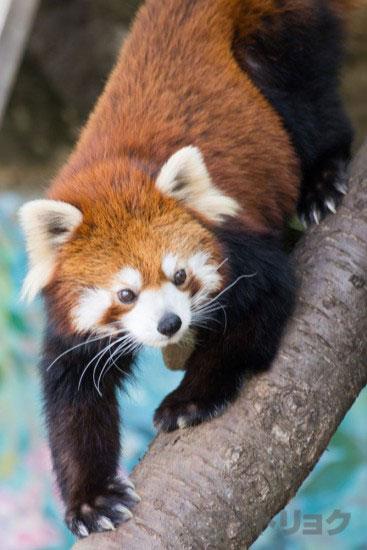 江戸川区自然動物園のレッサーパンダ2
