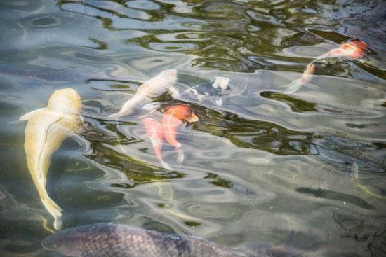 行船公園の鯉