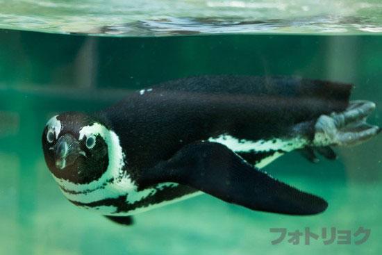 水中を泳ぐペンギン