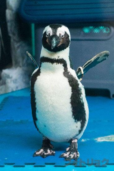 池袋のペンギンの居るバーのペンギン