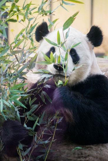 癒やし画像ジャイアントパンダ
